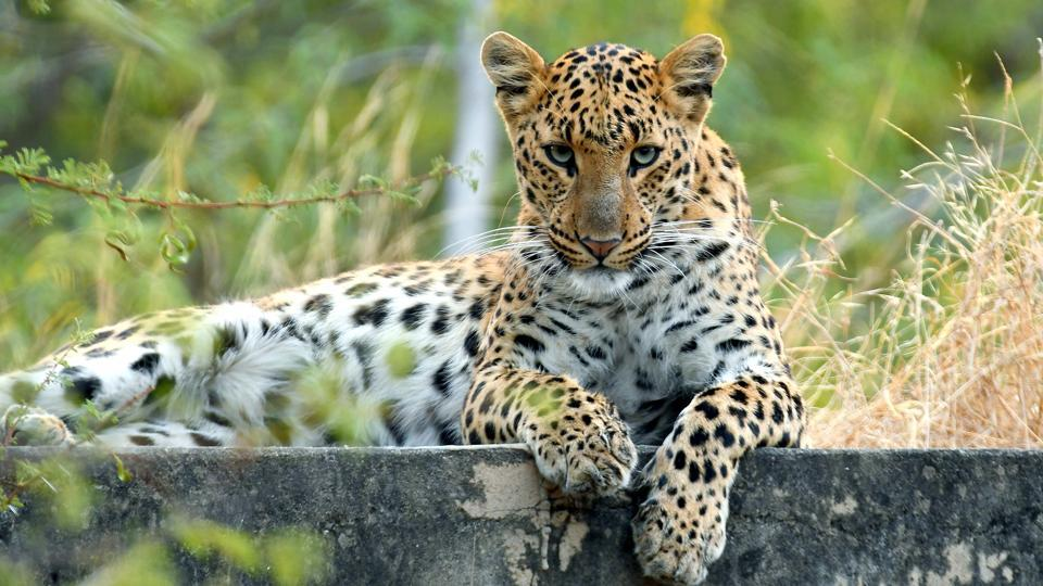 Leopard Safari With Hiking and Trekking Company in mount abu